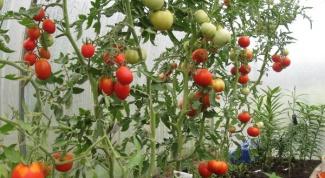 Как поливать помидоры в теплице