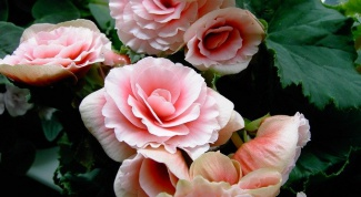 How to care for roses in the country