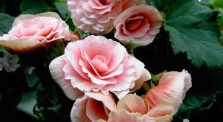 Как ухаживать за розами на даче