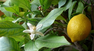 Как вырастить плодоносящий лимон из косточки