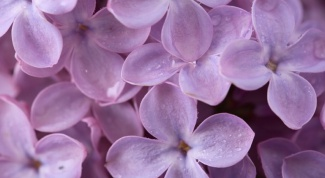 How and when to plant lilac