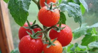 Как посадить помидоры в теплицу