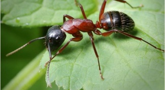 Как бороться с домашними муравьями
