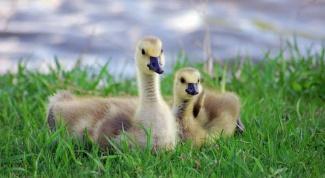 Как ухаживать за гусятами
