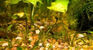 How to get rid of brown algae in the aquarium