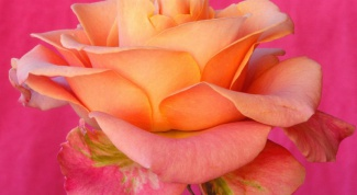 How to transplant roses in the spring