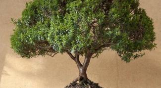 Как пересаживать миртовое дерево