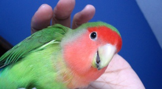 Как назвать попугая неразлучника