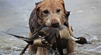Как натаскать собаку для охоты