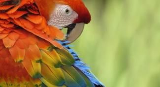 Почему попугаи чешутся