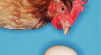 Почему куры клюют яйца