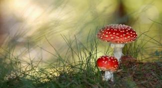 Как определить ядовитый гриб