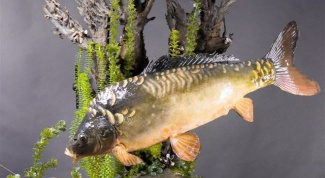 How to distinguish female carp from the male