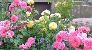Как вырастить здоровые розы в саду