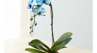 Орхидея фаленопсис - цветок для ленивых?