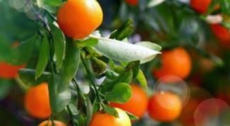 Полезные и лечебные свойства мандарина