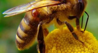 Как пчелы делают воск
