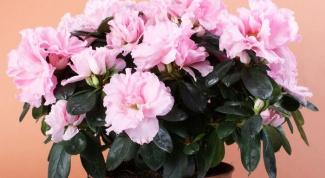 Why azaleas deciduous leaves?