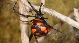 Есть ли в России ядовитые виды пауков