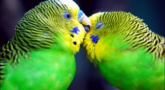 How old are the budgies at home?