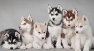 Сколько стоит щенок хаски