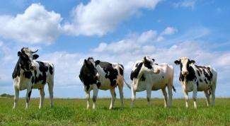 Почему мясо коровы называется говядина