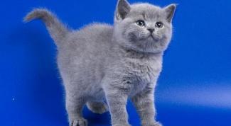 Сколько стоит котенок британца?