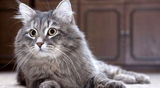Какую кошку завести аллергику?