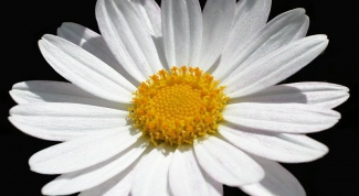 How to make chamomile from the candy?