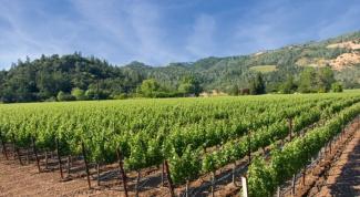 Когда открывать розы и укрывной виноград после зимы?
