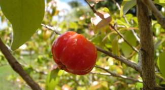 Ацерола: что это за ягода, которая скривит ваше лицо и оздоровит тело