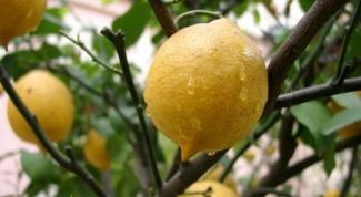 Как вырастить лимон из косточки дома