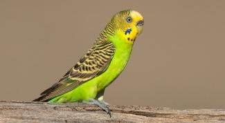 Как отличить самок попугайчиков от самцов