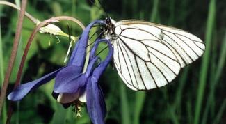 Butterfly-aporia Crataegi: methods of struggle