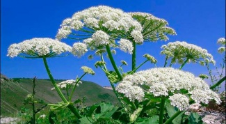 Cow parsnip: what to do if you burn
