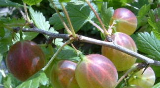 Powdery mildew on gooseberries: measures