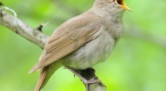 Какие птицы поют