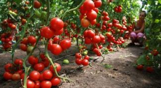Как вырастить хороший урожай помидоров в теплице