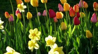 Пора сажать тюльпаны