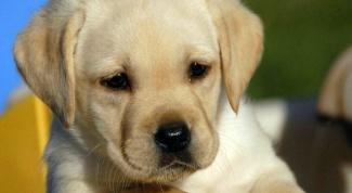 Как дать лекарство щенку