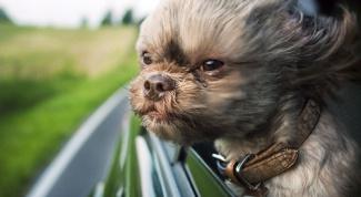 Почему собакам нравится высовывать голову из окна машины