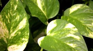 Какие вьющиеся комнатные растения бывают