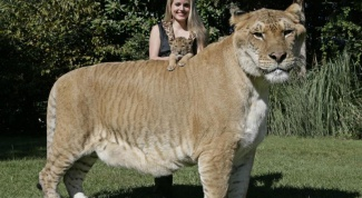 What animal of the Felidae family, the largest