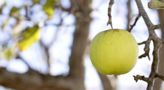 Как отличить сорт яблок антоновка от сорта белый налив