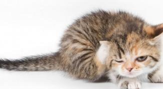 Почему кошачьи блохи кусают не всех