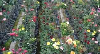 Как ориентироваться в классификации садовых роз