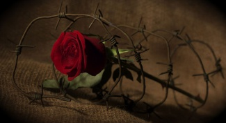 How dangerous rose thorns