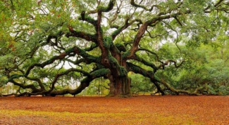 Какие болезни лечат корой дуба