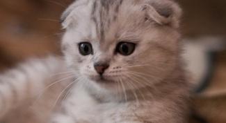 Как ухаживать за шотландскими вислоухими котятами