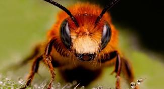 Для чего используют пчелиный яд